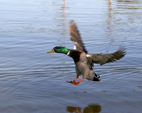 duck_landing_on_water